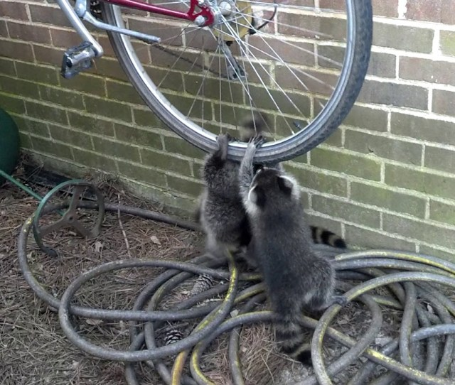 A Trio Of Baby Raccoons Adorably Compete With Each Other To Play On A Hanging Bicycle Wheel