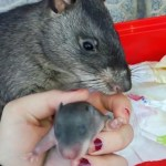 A Proud Giant Pouched Rat Mama Drags Her Human by the Finger to Show Off Her New Babies