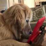 Golden Retriever Becomes Completely Mesmerized by a Squirrel Video Playing on an iPad