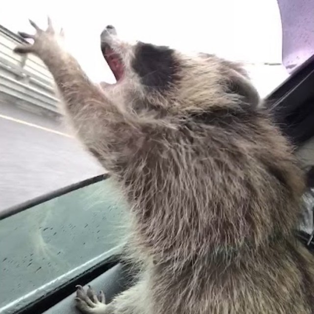A Cute Little Raccoon Tries To Catch Raindrops Through The Open Window Of A Moving Car