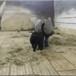 A Concerned Rhinoceros Mum Looks on as a Social Black Cat Makes Friends With Her Baby Calf
