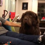 A Sullen Newfoundland Dog Refuses to Look at His Human Until She Offers Him a Heartfelt Apology