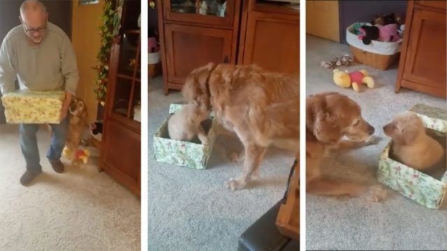 940abcd437e6bf An Excited Dog Eagerly Opens His Christmas Present to Find a Brand New  Puppy Inside