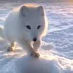 An Audacious Arctic Fox Adorably Convinces a Protesting Siberian Fisherman to Share His Bounty