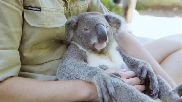 harry-the-chillest-koala A Laid Back Koala Bear Enjoys All Sorts of Snuggling With One of His Favorite Human Caretakers Random