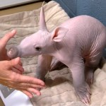An Adorably Feisty Baby Aardvark Refuses to Sit Still Long Enough to Be Weighed