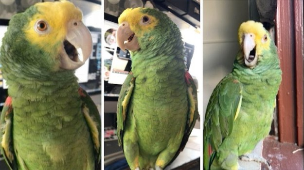 parrot-screams-for-ice-cream A Very Vocal Parrot With a Insatiable Sweet Tooth Continuously Screams for Ice Cream Random