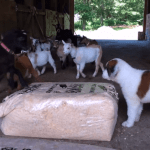 An Adorable St. Bernard Puppy Tries to Make Friends With the Resident Goats at the Sunflower Creamery