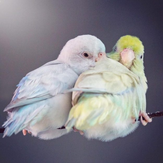 winter-and-sprig-e1518816795155 Gorgeous Photos of a Pair of Color-Splashed Pastel Parrotlets Who Have Fallen Madly in Love Random