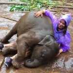 An Affectionate Baby Elephant Attacks a Woman In a Purple Raincoat With Lots of Muddy Cuddles
