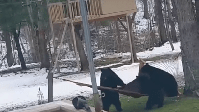 A Trio Of Playful Bears Adorably Attempt To Make Themselves Comfortable In A Backyard Hammock