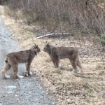 Two Angry Lynx Literally Butt Heads While Engaging in Very Loud Argument on the Side of a Small Road