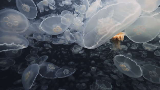 moon-jellies-alaska Chilling Footage of Thousands of Deadly Moon Jellies Descending Upon Alaskan Waterways Random