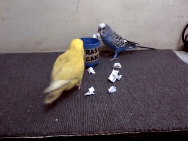 parrots-cleaning Helpful Little Parrots Frantically Clean Up Their Space by Putting All the Garbage Into the Trash Bin Random