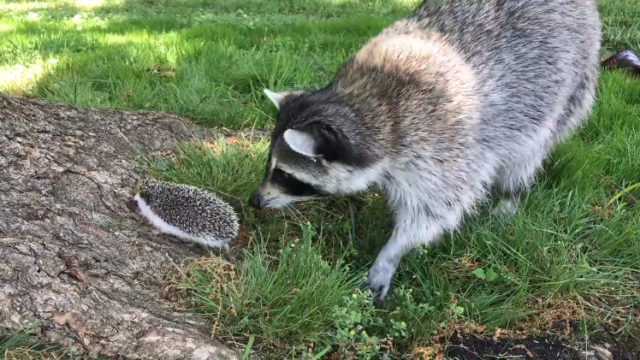 A Rescued Raccoon Tentatively Attempts To Play With A Prickly Hedgehog In His Humans Backyard