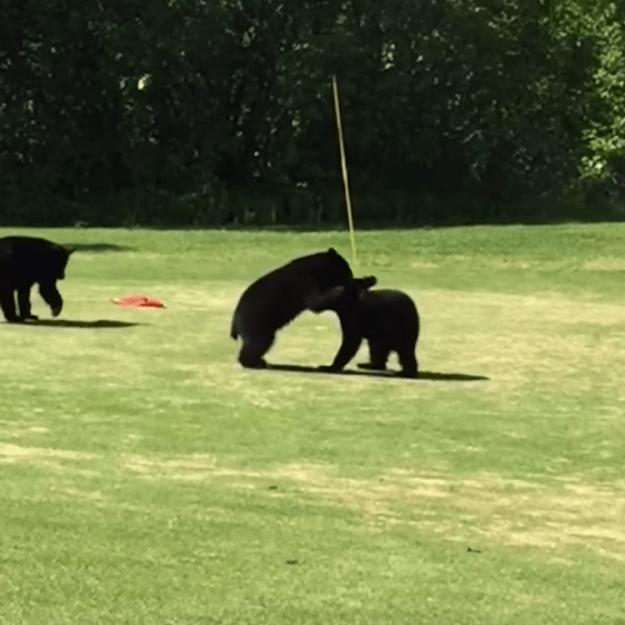 Bears-Capture-the-Flag A Trio of Bear Cubs Play a Funny Roughhouse Game of Capture the Flag on an Alaskan Golf Course Random