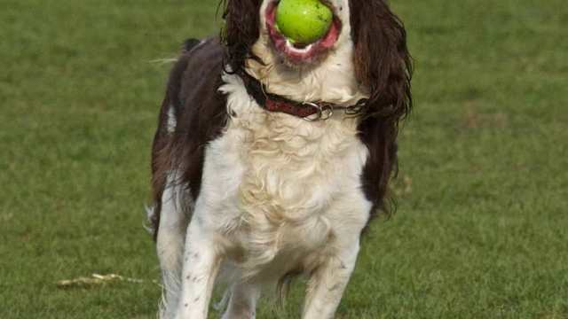 A Blind Dog Plays A Successful Game Of Fetch Using Verbal Cues Called Out By His