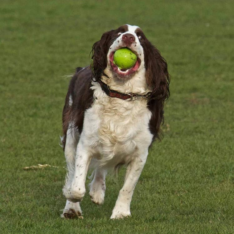 Kellar-the-Blind-Dog-Fetch A Blind Dog Plays a Successful Game of Fetch Using Verbal Cues Called Out by His Beloved Human Random