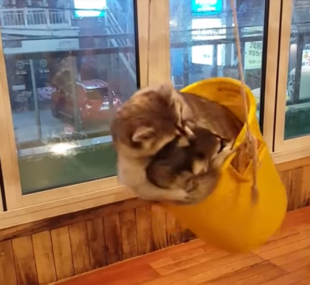 A Trio Of Playful Raccoons Adorably Wrestle In And Out Of A Bucket Swing At A Cafe In South Korea