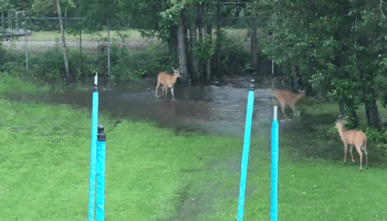 Frisky Goldendoodle Puppy and Playful Deer Gleefully Chase Each