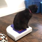 A Beautiful Rescued Blind, Deaf Cat Rides Around Her Human's House on a Roomba-Style Vacuum