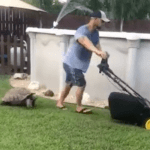 Tortoise Chases Lawn Mowing Human Around the Yard