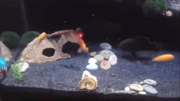 Fish-Chasing-Laser-Dot-Around-Tank Surprisingly Lively Fish Gleefully Chase a Laser Pointer Red Dot Around Their Aquarium Tank Random