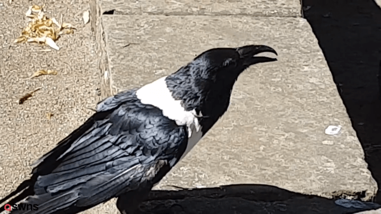 Talking-Crown-Yalright-Love Talking Crow Asks People Passing By on Street 'Y'alright Love?' in a Strong Yorkshire Accent Random