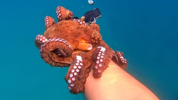 Affectionate-Octopus-Kevin-Filoni French Designer Makes Friends With an Affectionate Octopus While Diving Near Naxos Island, Greece Random