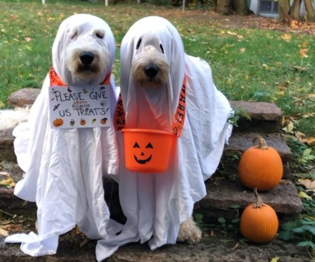 Fabbe-and-Nisse-Trick-or-Treating-as-Ghosts Two Adorable Goldendoodle Dogs Dress Up as Matching Ghosts to Go Trick or Treating for Halloween Random