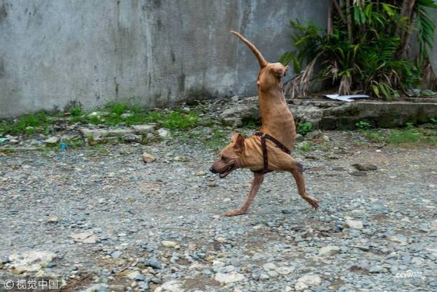 Putol A Tenacious Dog Born Without Back Legs Who Was Left For Dead Learns How to Run on Her Front Paws Random
