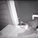 A Fiercely Protective Cat Chases a Wannabe Racoon Invader Away Through the Pet Door