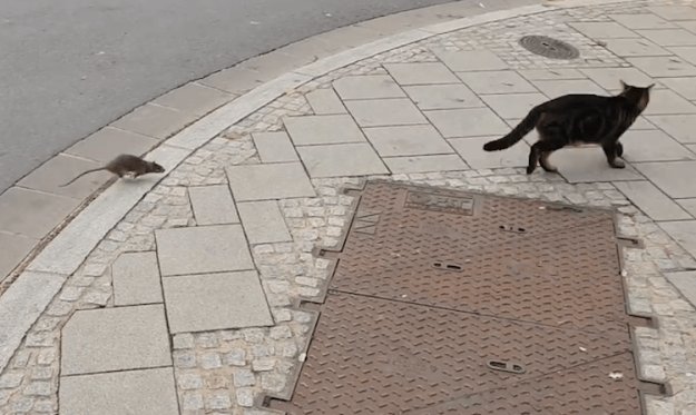 Cat-Chasing-Rat-Chasing-Cat A Tough Little Street Rat Chases the Boldly Inquisitive Cat Who Started the Chase in the First Place Random