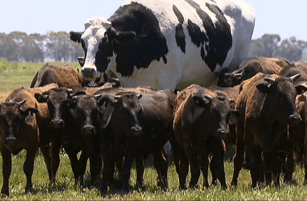 Knickers-the-Tallest-Cow-in-Australia1 Gigantic Cow Whose Immense 6'4″ Height and 3,000 Pound Weight Saved Him From the Slaughterhouse Random