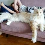 A Giant Maine Coon Cat With Big Beautiful Fuzzy Paws