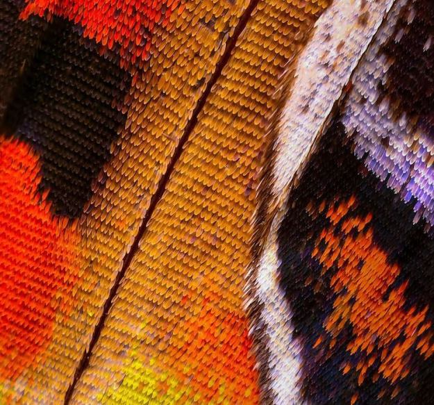 Thousands-Microscopic-Butterfly-Photos-Macro-Wings Thousands of Microscopic Photos Seamlessly Stitched Together to Create Macro Images of Butterfly Wings Random