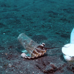 Compassionate Divers Gently Coax Reticent Octopus to Trade a Flexible Plastic Cup for a Protective Shell