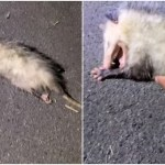 Spooked Opossum Plays Dead for Young Photographer