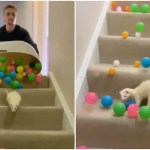 Deaf Ferret Is Surprised By a Cascade of Colorful Pit Balls Following After Her Down the Stairs