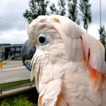 Cockatoo Clucks Like a Chicken at Traffic in the Street