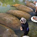 A Couple Feeds Slices of Sweet Potatoes to Manatees That Look Just Like Sweet Potatoes