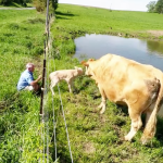 Desperate Mother Cow Asks Man to Help Her Retrieve Her Newborn Calf From the Other Side of the Fence