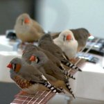 70 Tiny Birds Play a Room Full of Electric Guitars