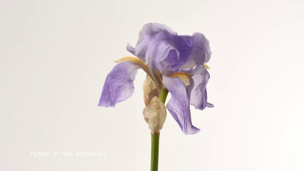 A Compilation of 4K Timelapses Capturing Iris Flowers as They Go Through Their Full Lifecycle