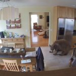 Wayward Young Bear Who Wanders Into a Home Is Quickly Chased Out by Two Tiny Terriers