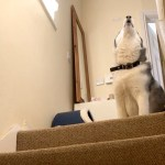 Vocal Husky Stubbornly Refuses to Come Downstairs