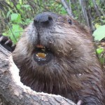 Remarkable Up Close Footage of an Industrious Beaver Efficiently Chewing Through a Fallen Tree Limb