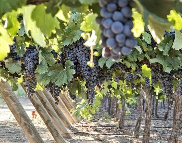 Planta carmenere chile uva