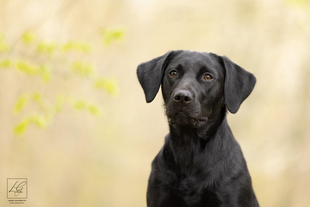 black labrador pet photography cambridgeshire