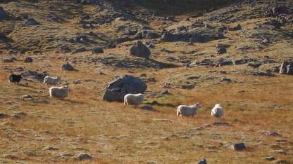 mehr Schafe